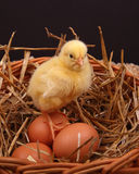 Chick on Eggs Royalty Free Stock Photography