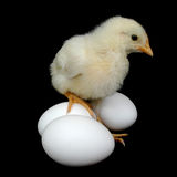 Chick on eggs for Easter Royalty Free Stock Images