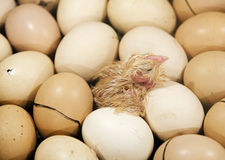 The chick on the eggs in the incubator. The chick on the yellow eggs in the incubator Royalty Free Stock Photography
