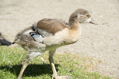 Chick of Egyptian goose Stock Photography