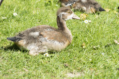Chick of Egyptian goose Stock Photo