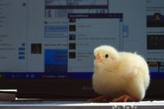 Chick on facebook. Small chick on laptop keyboard in front of facebook page Stock Photography