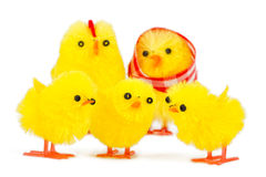 Chick family Royalty Free Stock Images