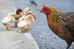 Chick family  at thailand Stock Images