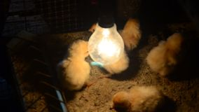 Chick in farm at Phatthalung, Thailand. stock video