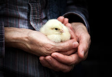 Chick on a farmer& x27;s hand Stock Image