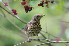 Chick of Fieldfare Stock Image