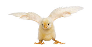 Chick flapping its wings (8 days old) Stock Photo