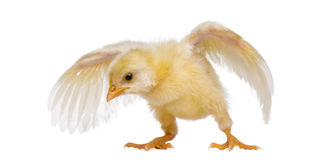 Chick flapping its wings (8 days old) Royalty Free Stock Photos