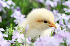 Chick in Flowers stock photos