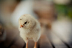 Chick. Focus in face a chick and body blur Stock Images
