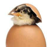 Chick, Gallus gallus domesticus, 3 days old Royalty Free Stock Photo