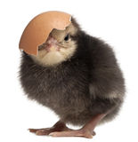 Chick, Gallus gallus domesticus, 3 days old. With eggshell in front of white background stock photo
