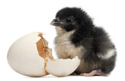 Chick, Gallus gallus domesticus, 8 hours old Royalty Free Stock Images