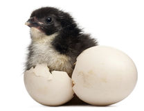 Free Chick, Gallus Gallus Domesticus, 8 Hours Old Royalty Free Stock Photo - 21403995