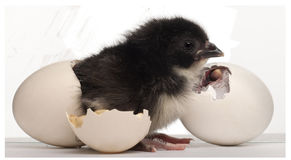 Chick, Gallus gallus domesticus, 8 hours old Royalty Free Stock Photo