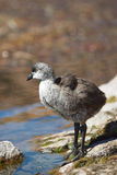 Chick of Giant Coot Stock Photo