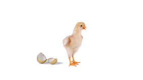 chick and golden egg in studio against a white background Royalty Free Stock Photos