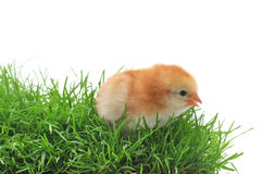 Chick in grass Stock Images