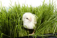 Chick In Grass Royalty Free Stock Photos
