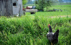 Chicken on the grass coming home royalty free stock images