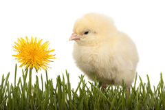 Chick in grass with dandelion Royalty Free Stock Images
