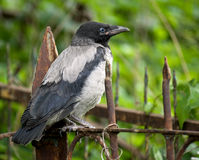 Chick gray crows Royalty Free Stock Images
