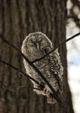 A chick of a gray owl in the winter forest stock image