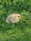 chick in the green grass Royalty Free Stock Photography