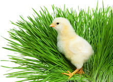 Chick on green grass Stock Images