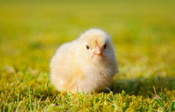 Chick on green meadow Stock Photography