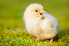 Chick on green meadow Stock Images