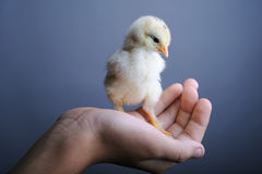Chick in hand. Golden newborn chick in hand, close up Royalty Free Stock Photos