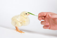 Chick and hand Stock Image