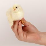 Chick on hand Royalty Free Stock Image