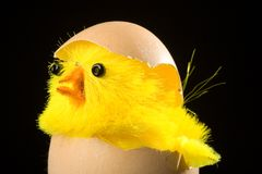 Chick Hatching from Egg. Yellow chick hatching from brown eggshell.  Easter theme Stock Photo