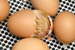 Chick hatching out of egg. Macro view of chick hatching from brown egg with metal grill background Stock Photos