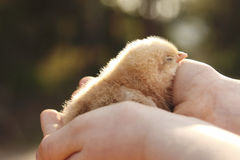 Chick held in the hands of a child. A close up of a chick held in the hands of a child, back lit royalty free stock image