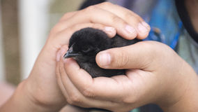 Chick held by hands Stock Image