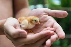 Chick in human palms Royalty Free Stock Image