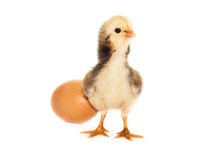 Chick isolated Royalty Free Stock Photos