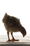 Chick. Isolated on white background Royalty Free Stock Image