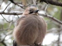 Chick Jay växte upp och visar proudly dess fjäderdräkt Arkivbilder