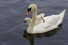 The chick is jumping to the water from the back of her mother-swan Stock Images