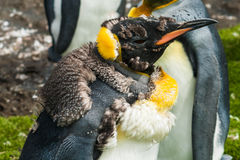 Chick king penguin after molting Stock Photo