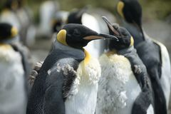 Chick king penguins at Volunteer Point, Falkland Islands.  Royalty Free Stock Photography