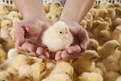 Chick Royalty Free Stock Photography
