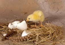Chick leaving the eggshell. Nest of hay with yellow chick looking at its broken eggshell Stock Photo