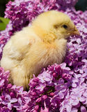 Chick in lilac flowers Royalty Free Stock Photo