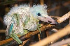 A chick of little egret ( Egretta garzetta ) Stock Images
